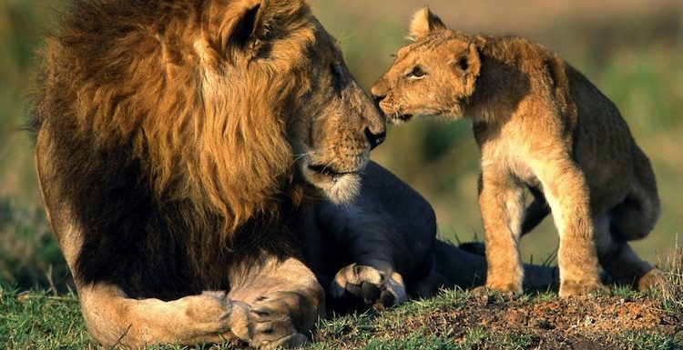 Lion Ark Night: Lion Champion